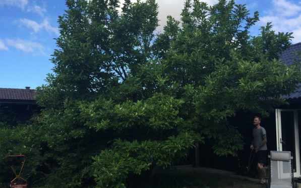Magnoliaträd...