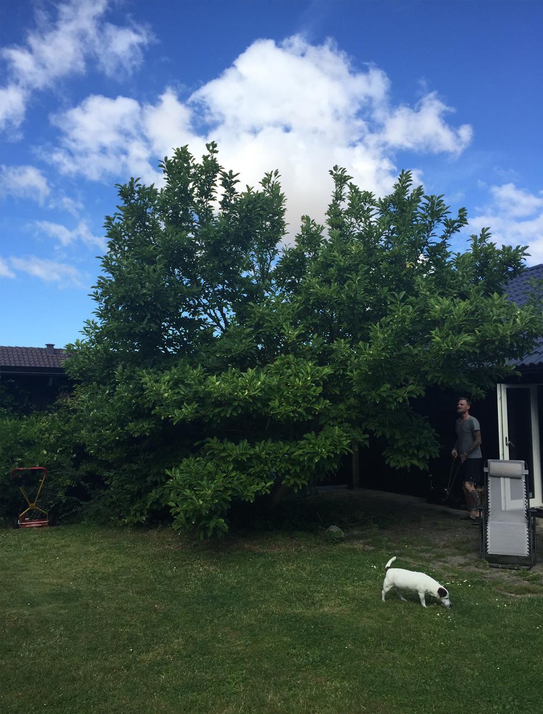 Magnoliaträd före